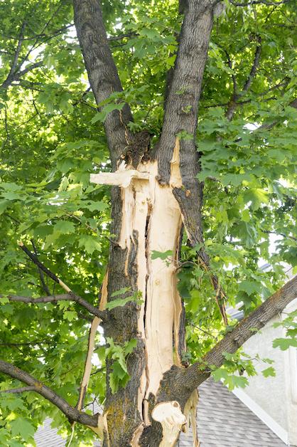 Tree Trunk Splitting From Lightning
